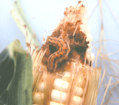 corn ear worm