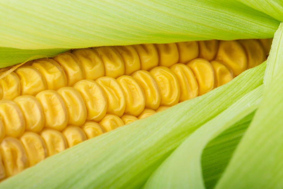 corn on the cob, Wikimedia Commons photo